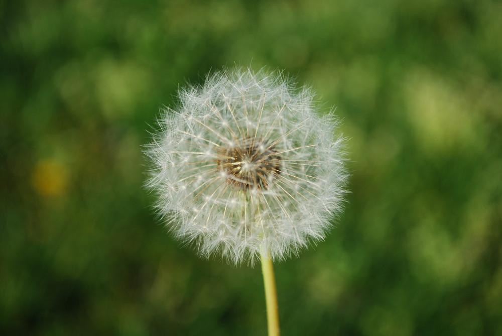 Dandelion With Grass Background