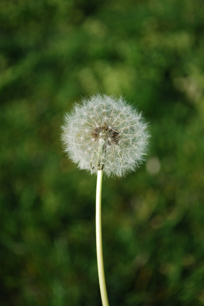 Dandelion With Grass Background