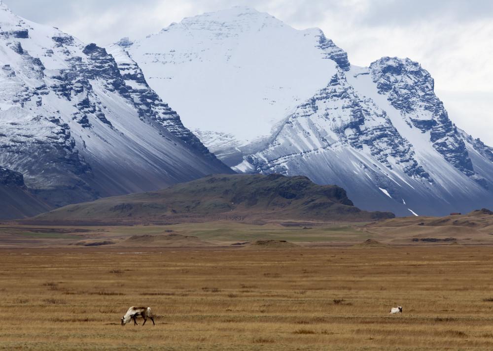 Vaca pastando antes de uma grande montanha coberta de neve