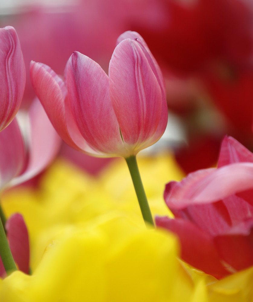 Close Up Of Pink Tulip Flowers Royalty Free Stock Image Storyblocks