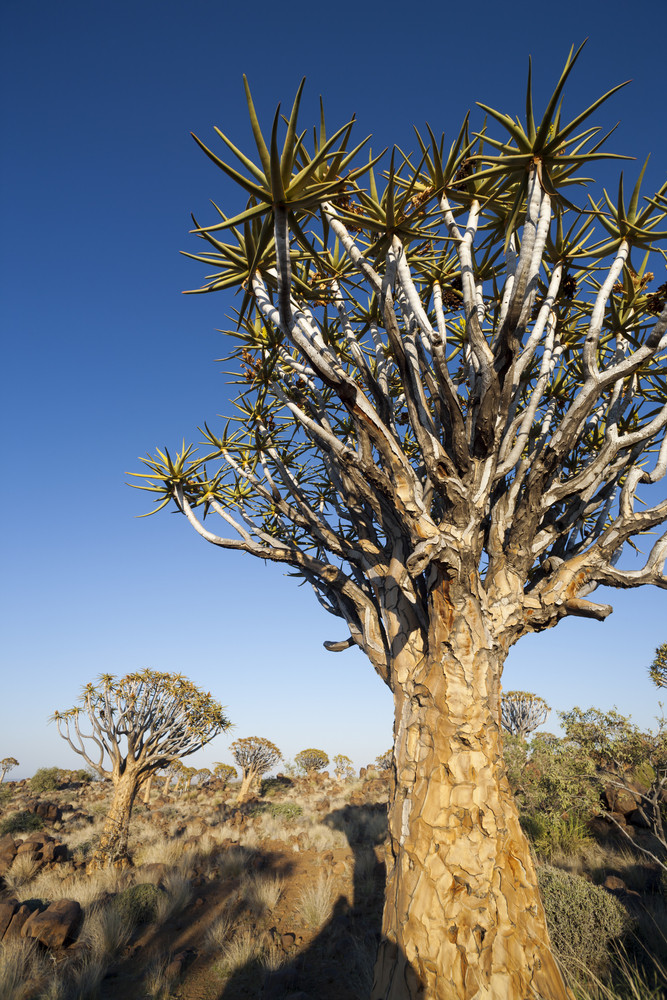 Dragon blood trees under a blue sky