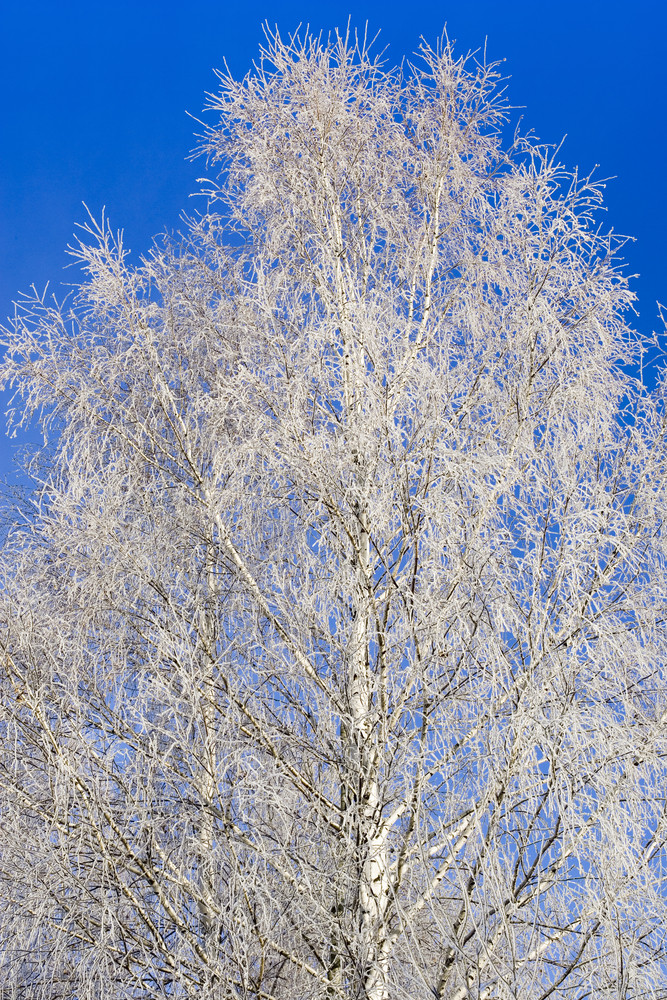 Frozen tree branches against a blue sky