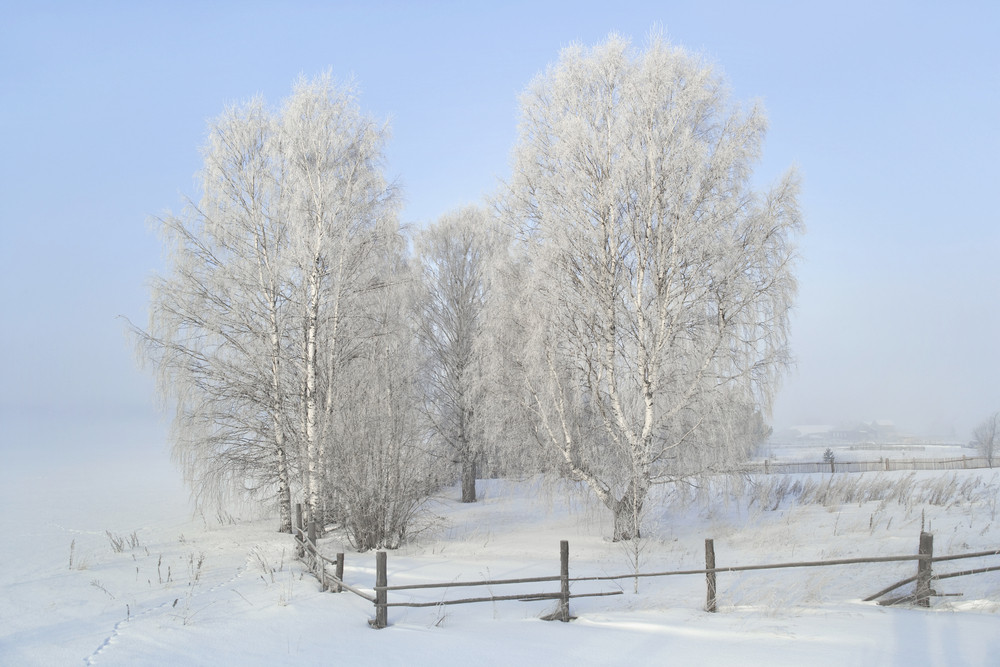 Sunlit, snowy trees in a paddock in winter
