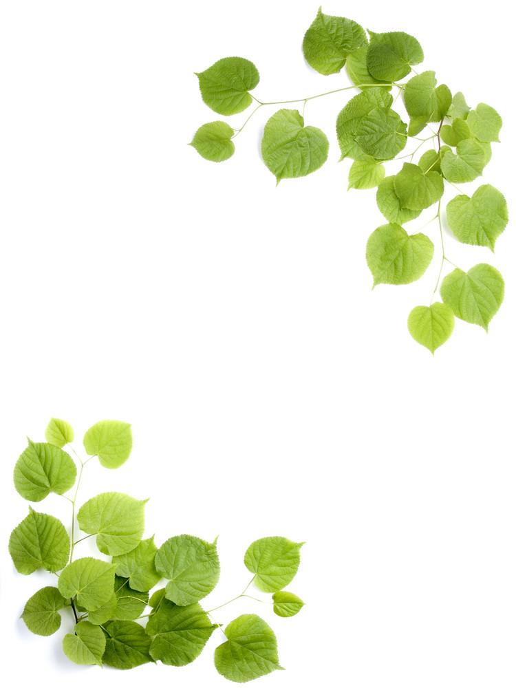 Decorative Background. Fresh Leaves Isolated On White