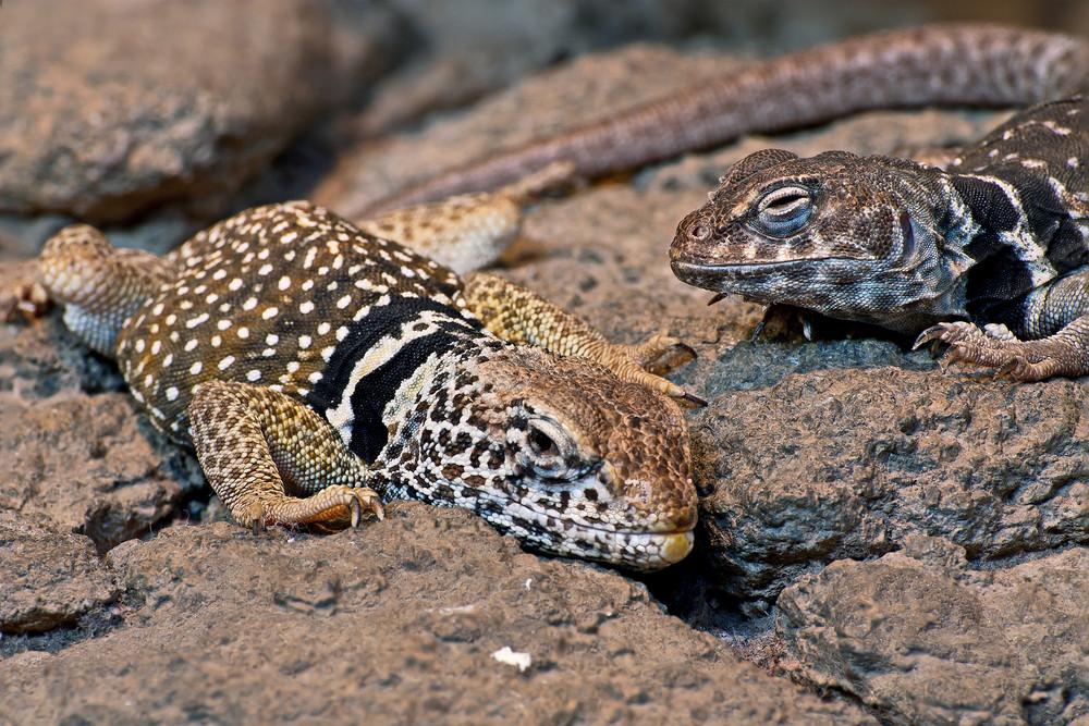 Desert Collard Lizard