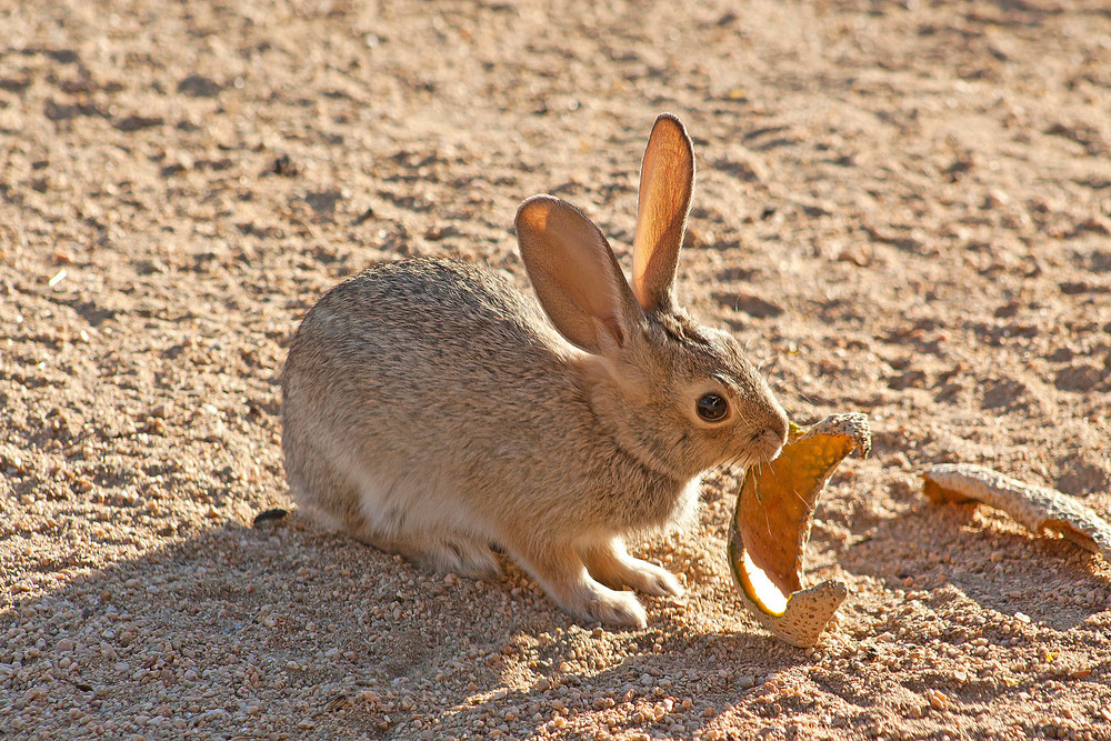 Desert Wild Rabbit