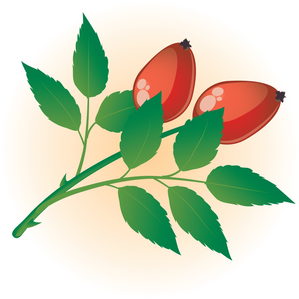 Dog Rose. Vector.