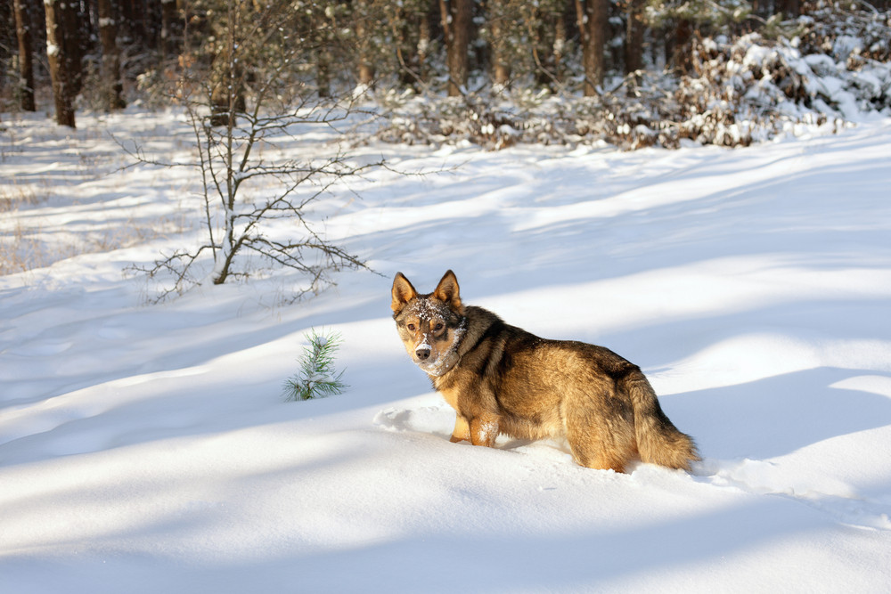 Dog walking in deep snow in the forest