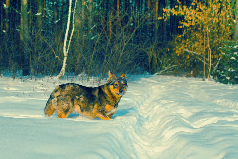 Dog walking in deep snow