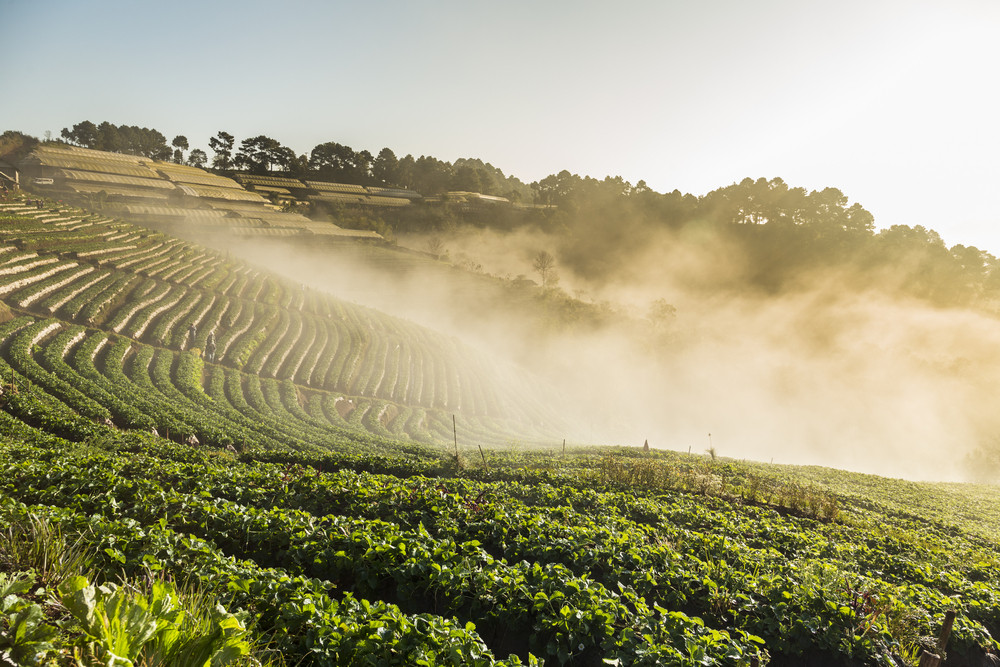 Doi Angkhang strawberry field with fog on morning winter season. Chiang Mai. Thailand.