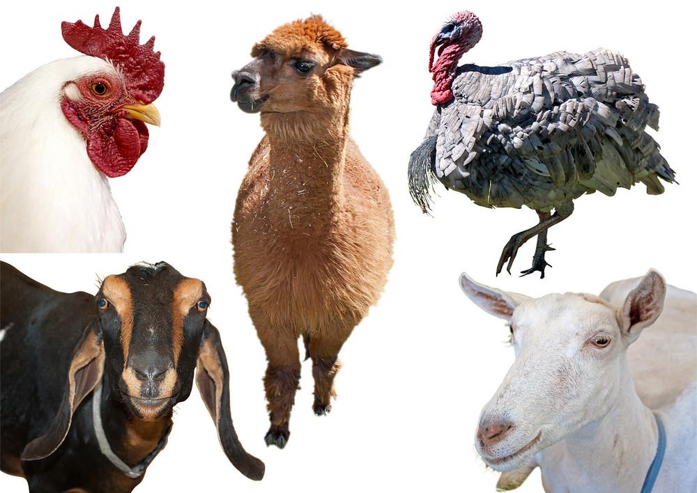 Domastic-animals