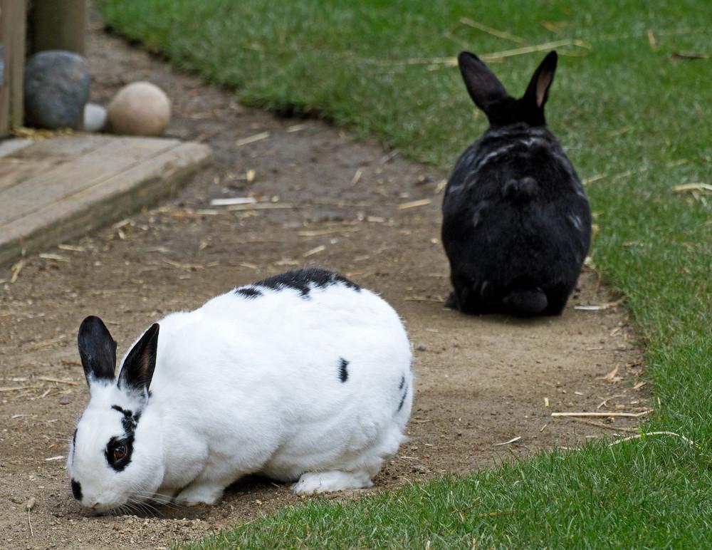 Domestic Rabbits
