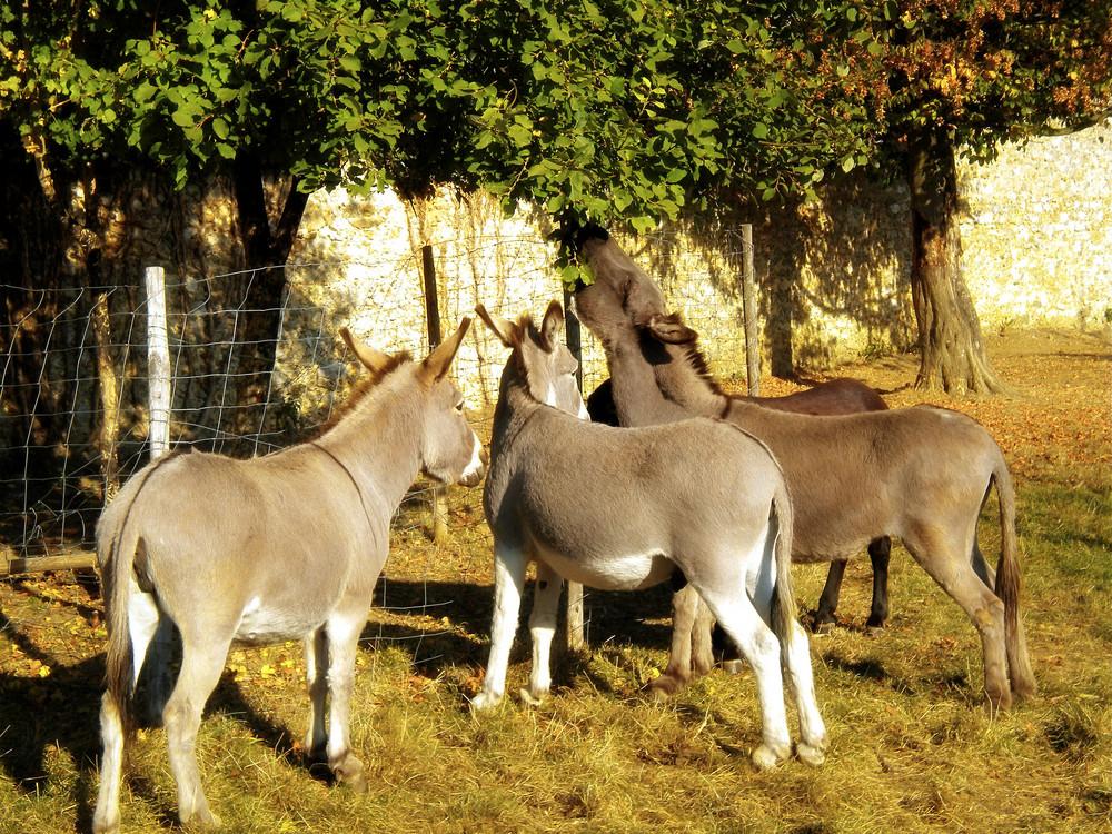 Donkeys Of France