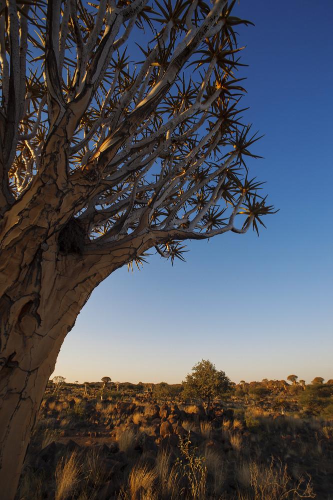Árvore do sangue de dragão no por do sol