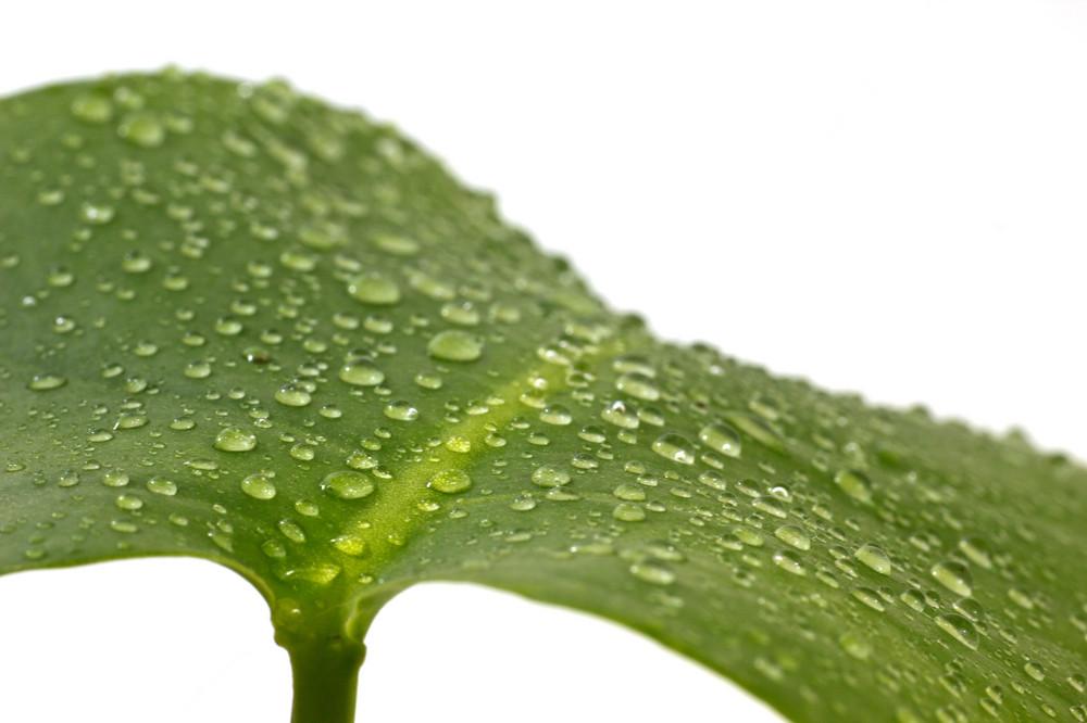 Drops On Rain Leaf