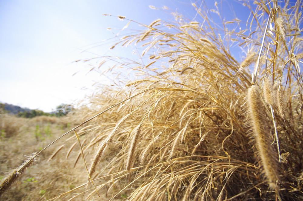 Dry grass on blue sky
