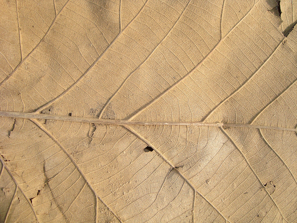 Dry Leaf Texture