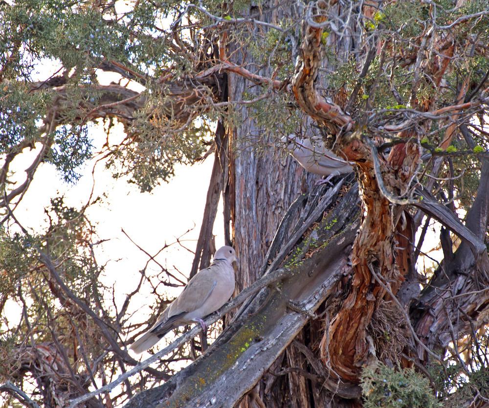 Eurasian Collard Doves