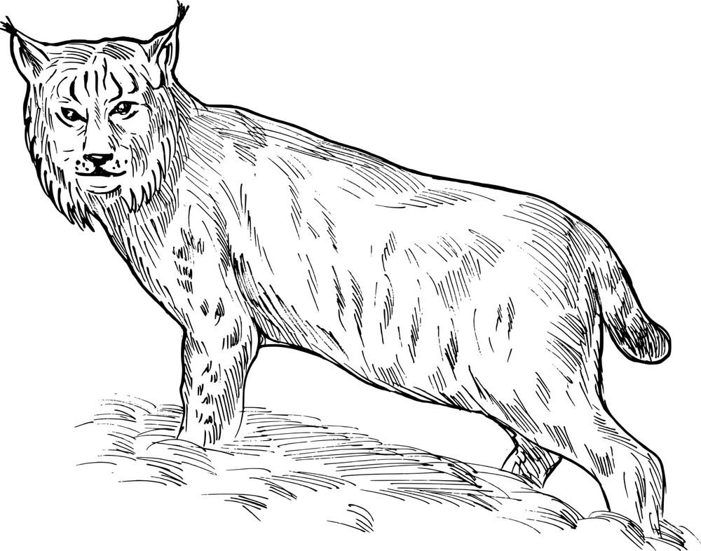 Eurasian Lynx Drawing
