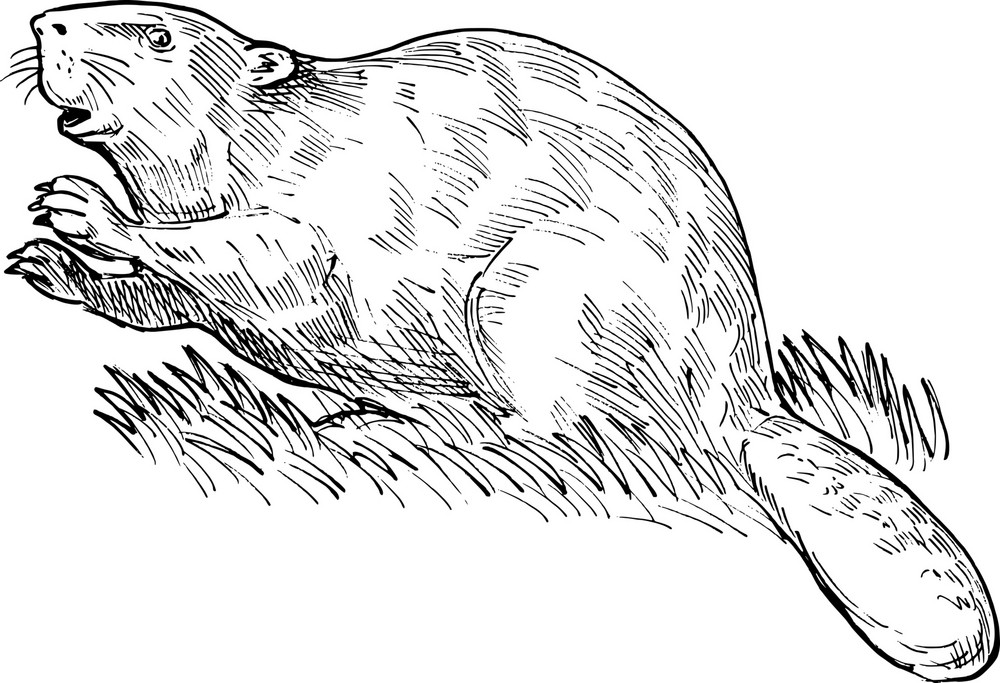 European Beaver Or Eurasian Beaver Drawing