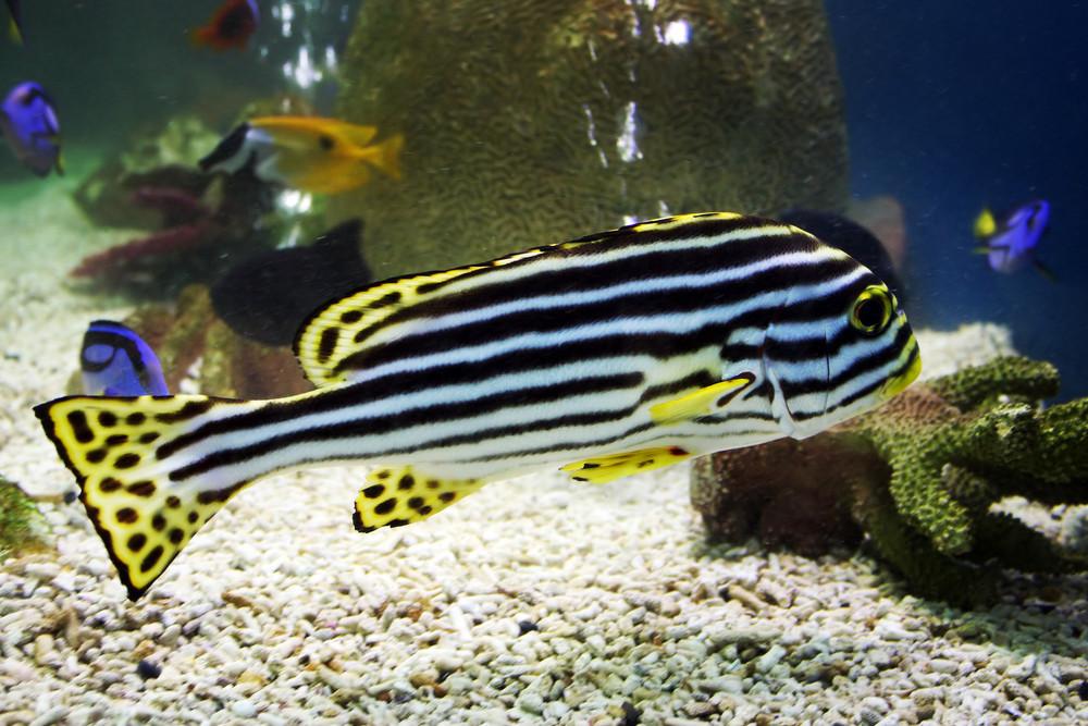 Exotic Zebra Fish