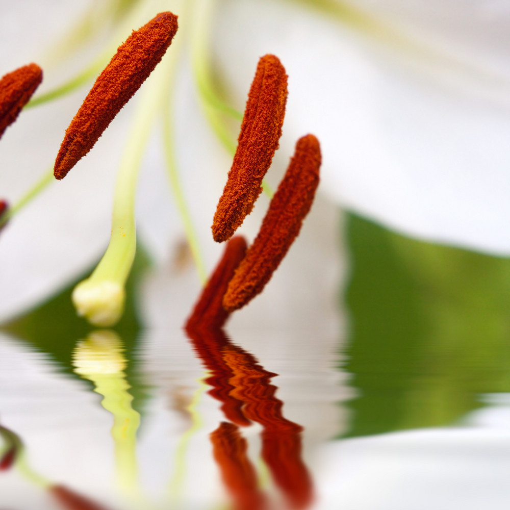 Extreme closeup of a white lily flower reflecting into a pool of water.  Shallow depth of field.