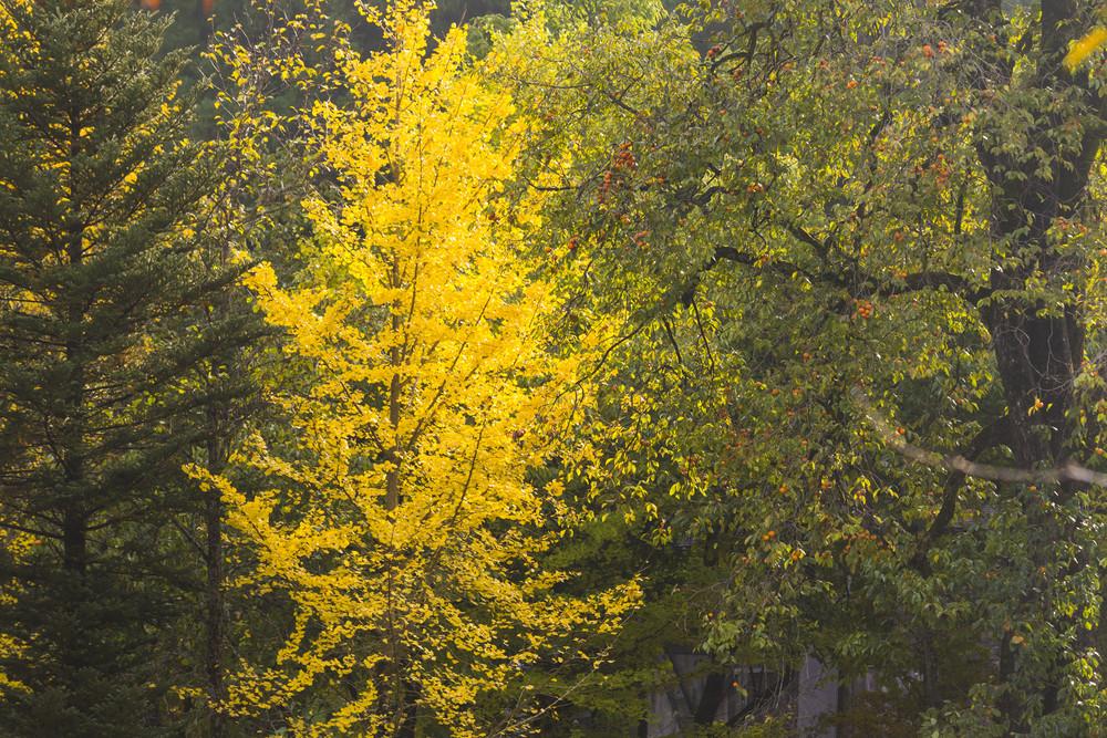 Fall season at Shirakawa-go. Japan