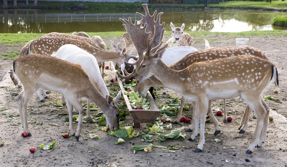 Feeding Of Young Deer