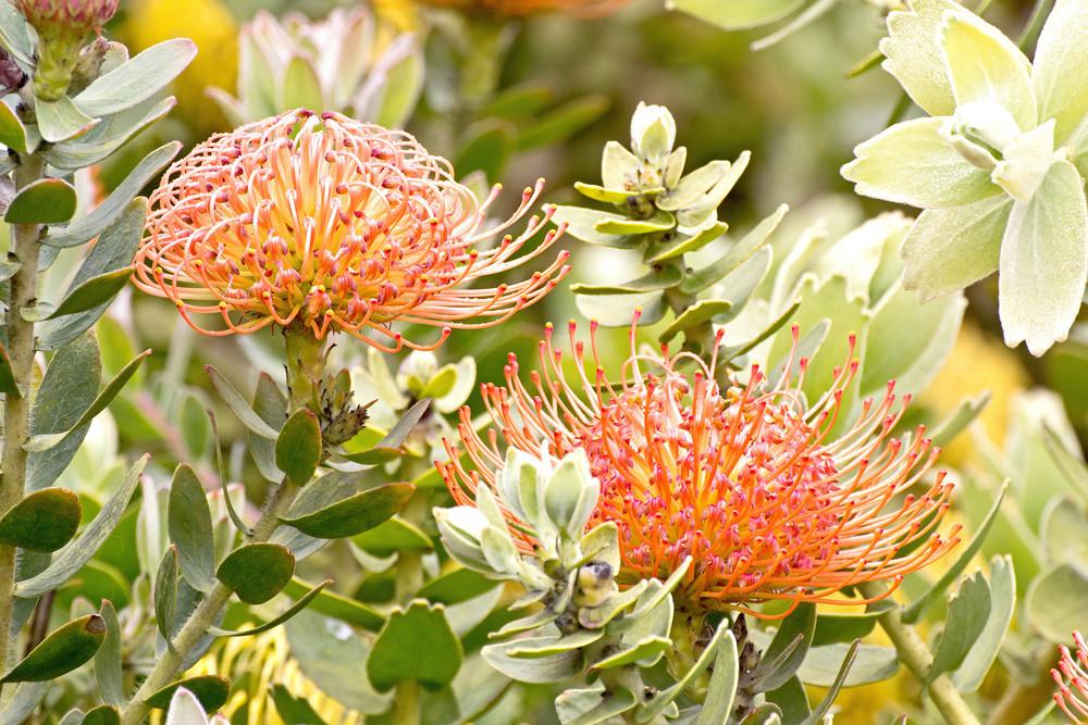 Flowers Pincushion Protea