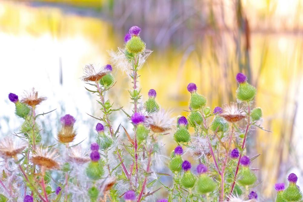 Flowers Thistle