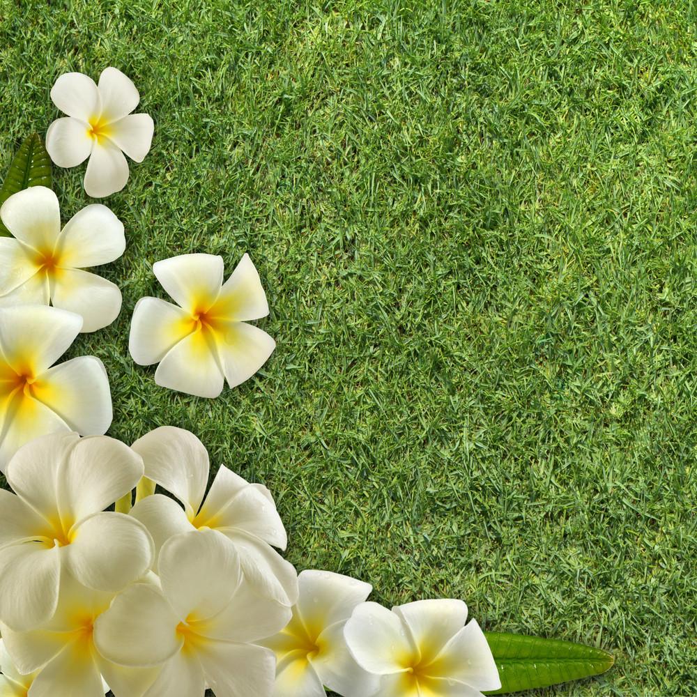 Frangipani On Green Grass