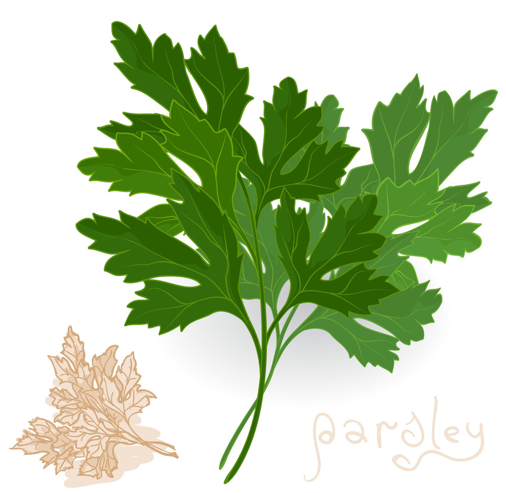 Fresh Parsley Leaves On White. Vector.