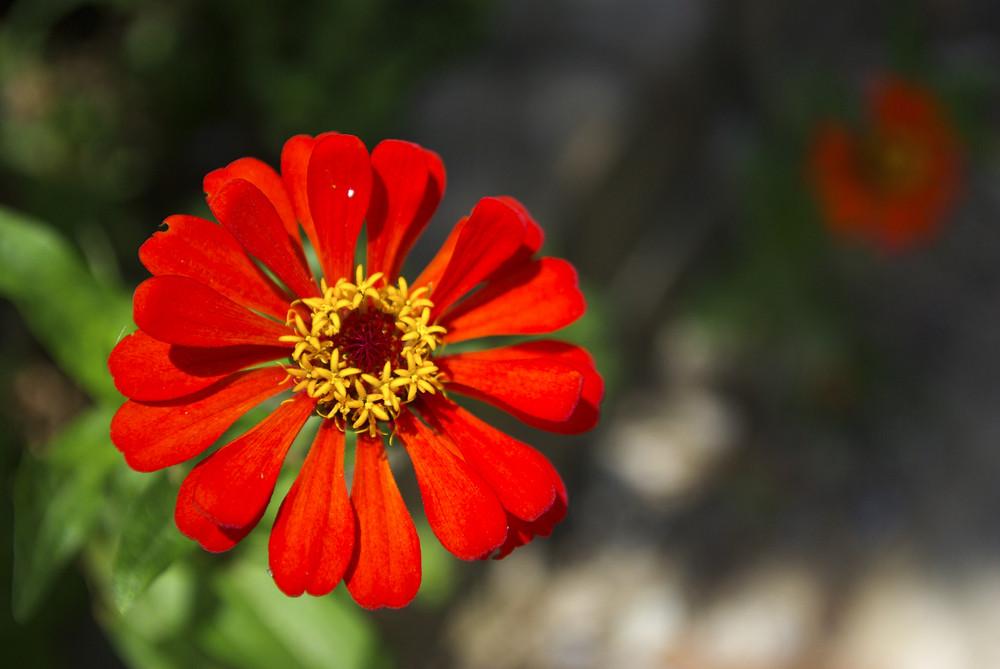 Fresh red flower