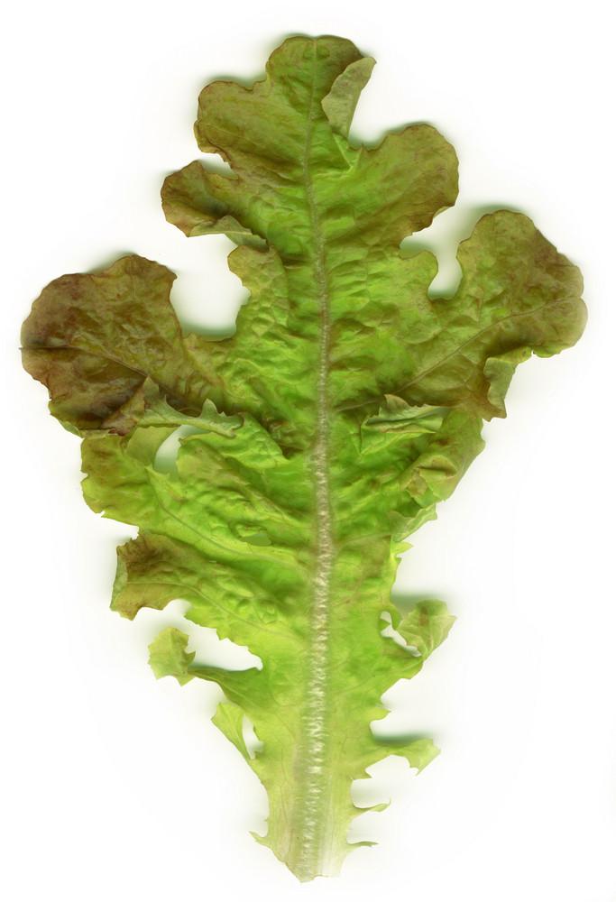 Fresh Salad Leaf