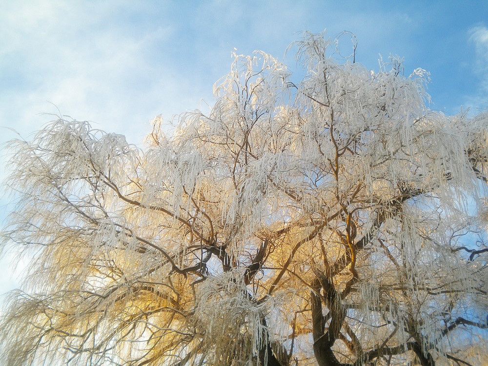Frozen Willow Tree