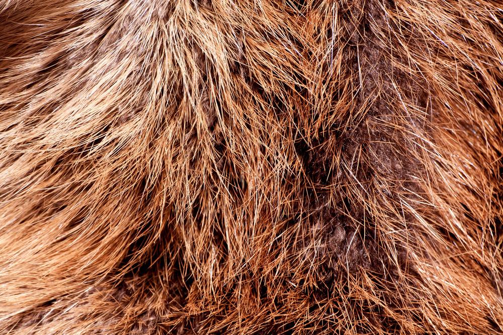 Fur Beaver