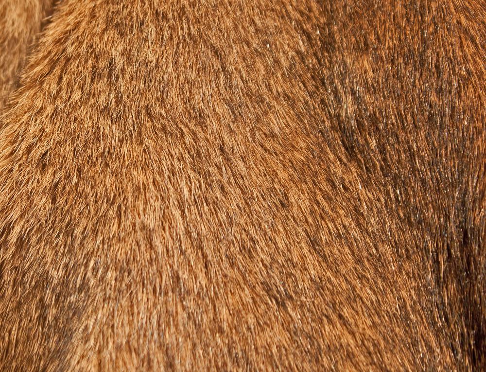 Fur Cougar