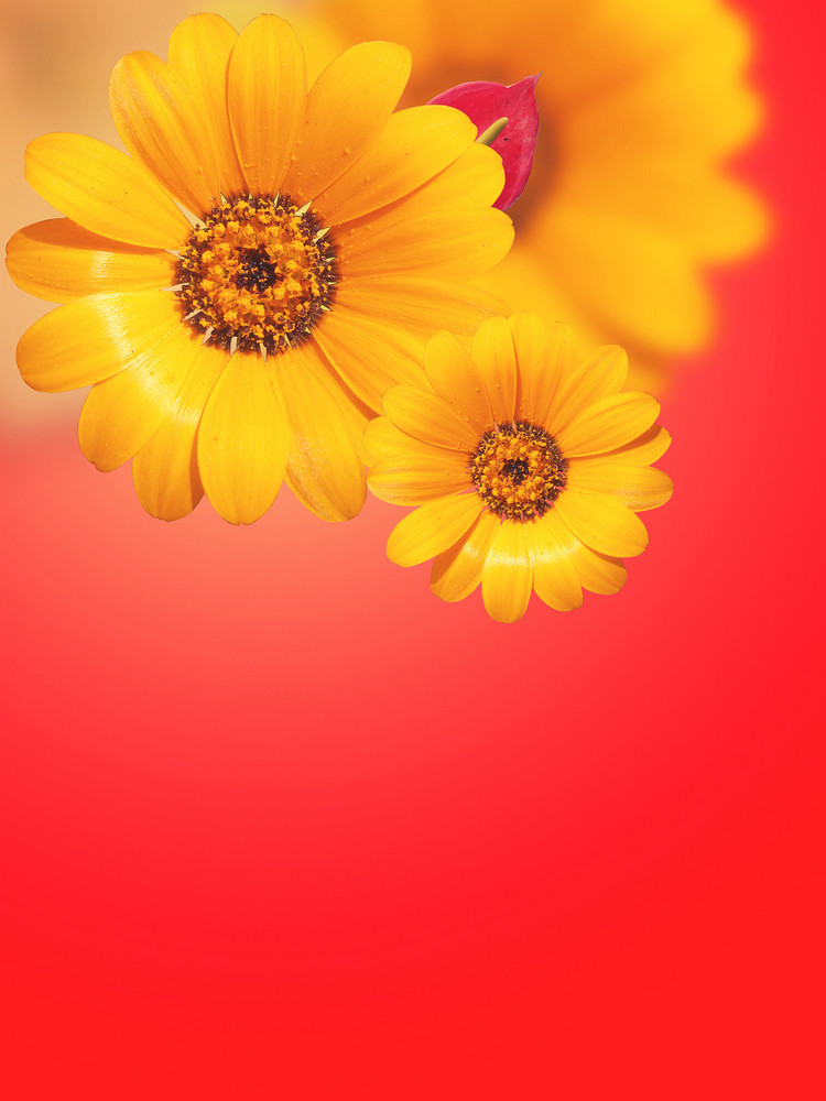 Gerbera Flowers Isolated On Red