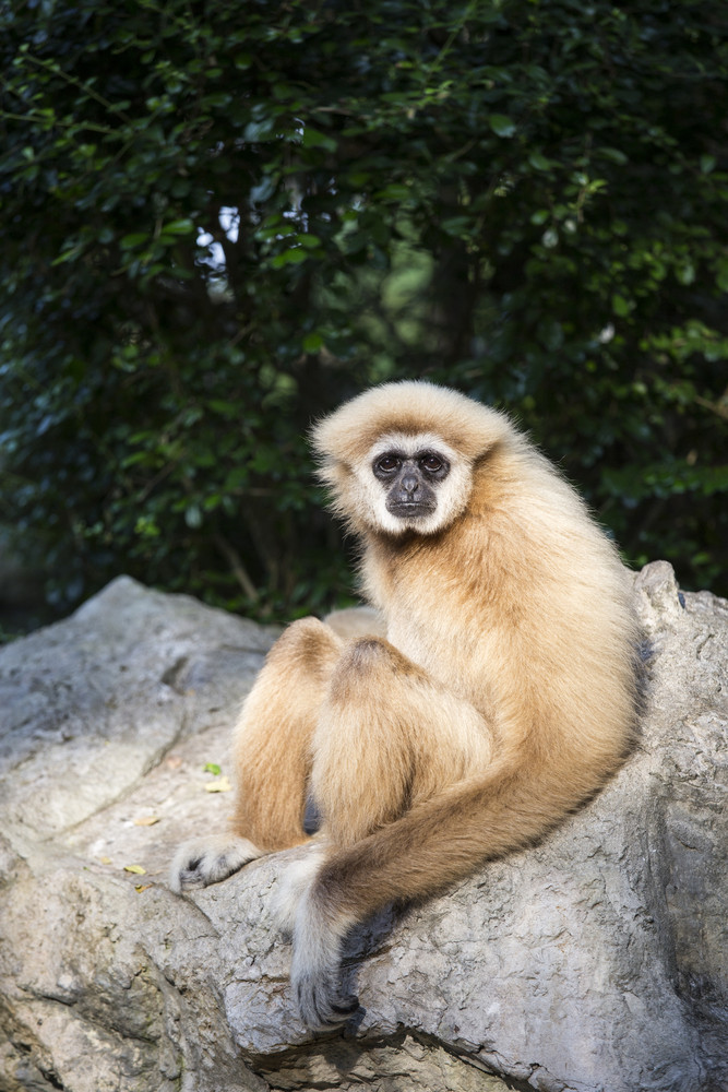 Gibbon White hand