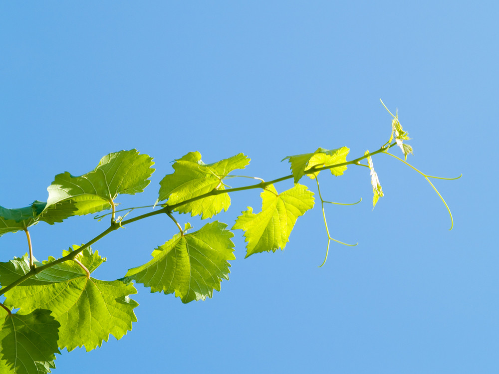 G rapeseed Branch Over The Blue Sky Background