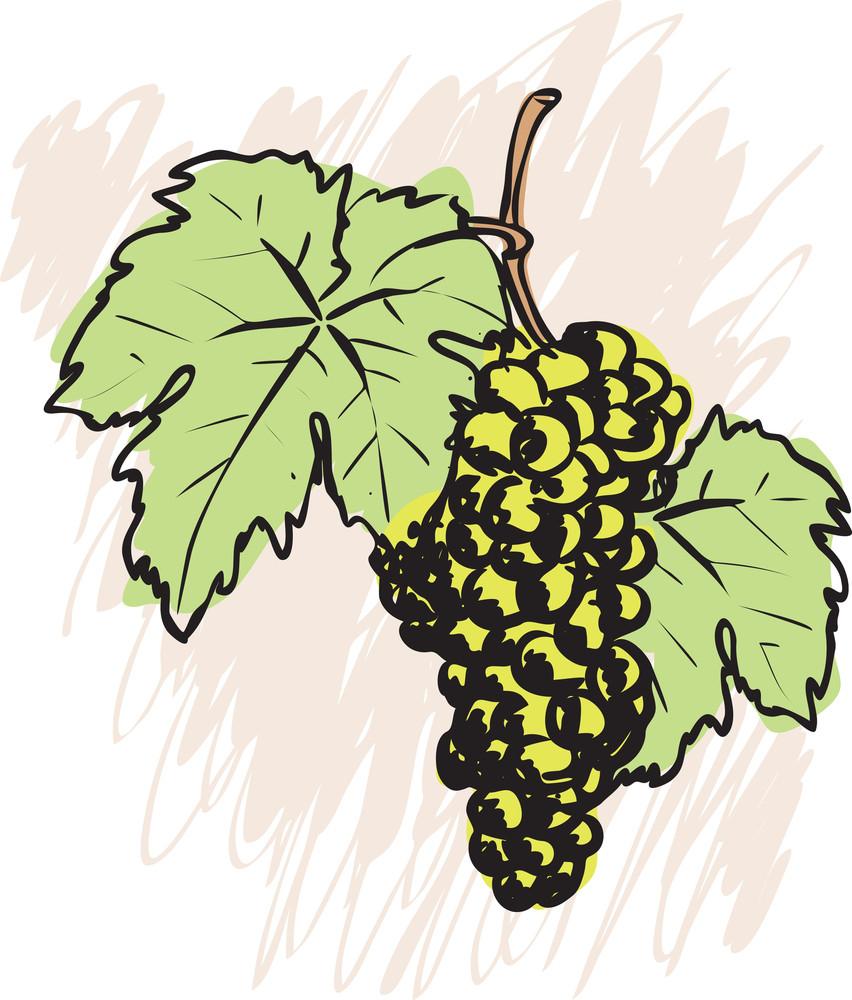 Grape. Vector Sketch.