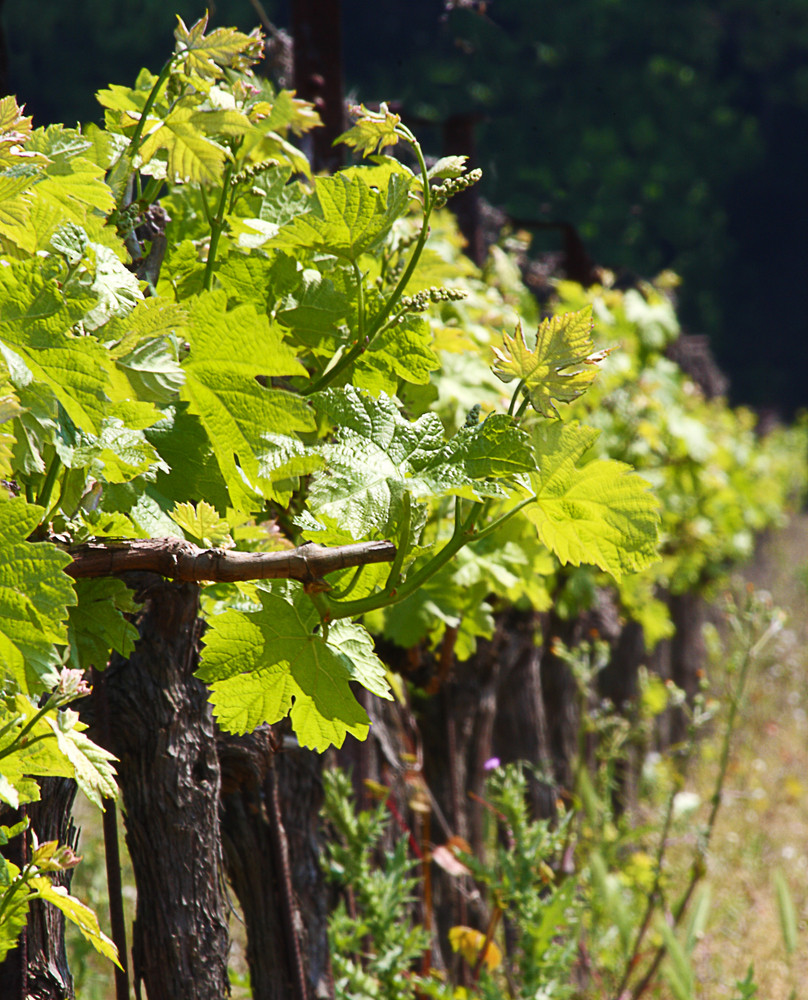 G rapeseed Vines For Wine Making In Europe
