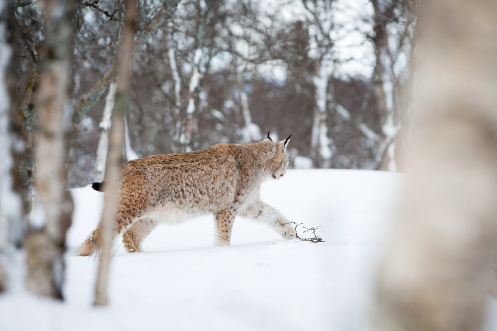 A european lynx in the forrest. Cold winter, February, Norway.