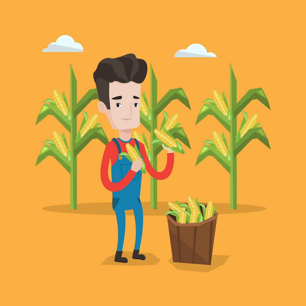 A happy farmer holding a corn cob on the background of corn field. Farmer collecting corn. Farmer standing near basket full with corn. Vector flat design illustration. Square layout.