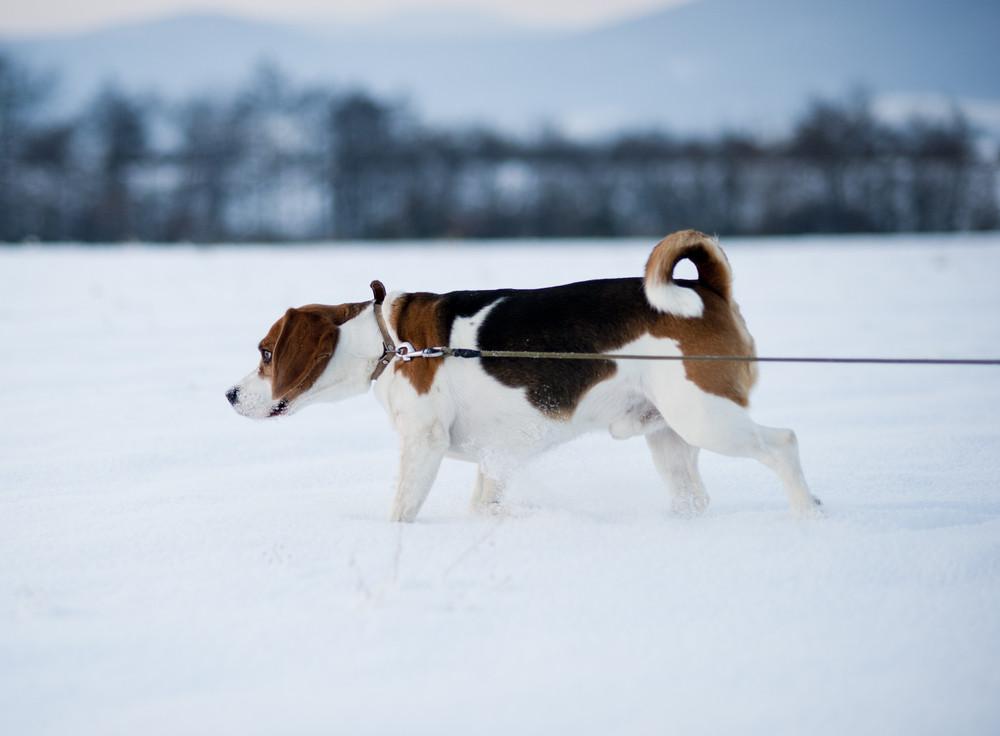 A hunt dog is walking outside in snow