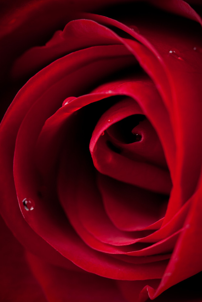Amazing closeup shot of red rose with water drops