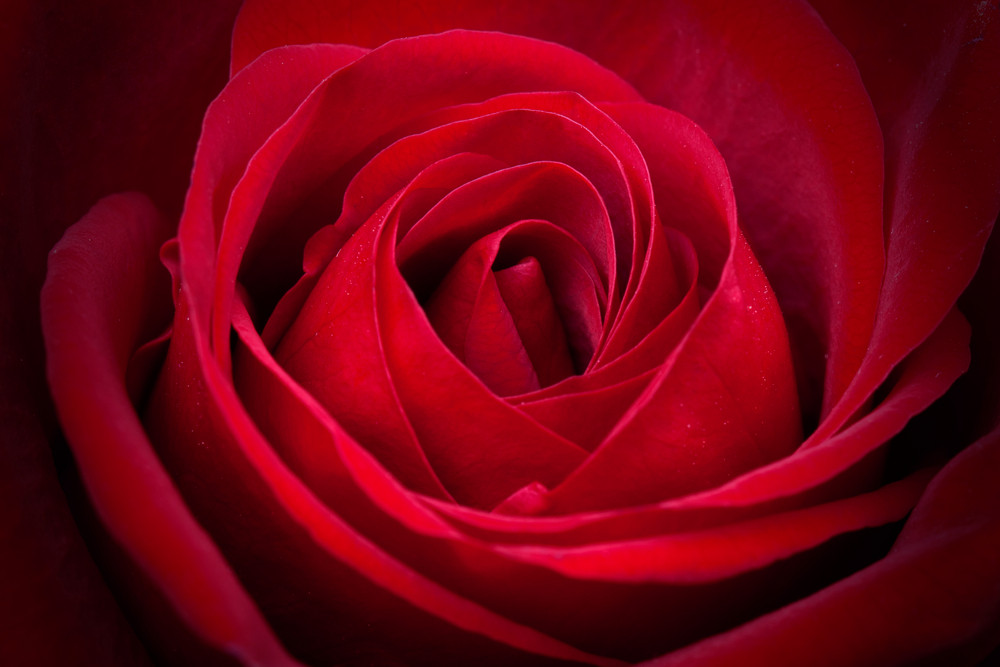 Amazing closeup shot of red Rose