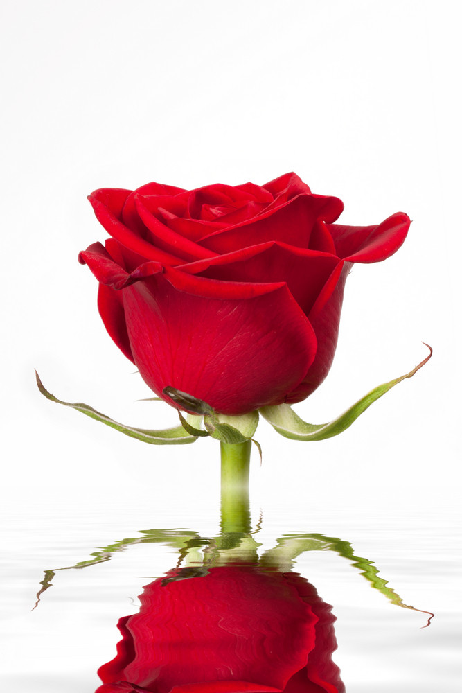 Amazing red rose reflected on water surface