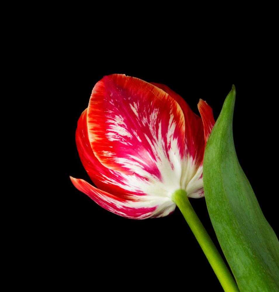 Amazing Red Tulip