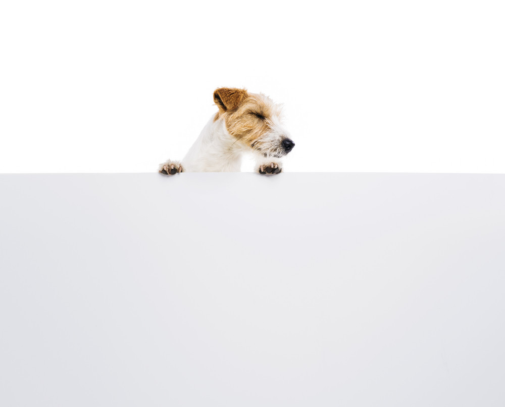 An adorable young parson russell terrier dog above banner or sign, isolated on white background